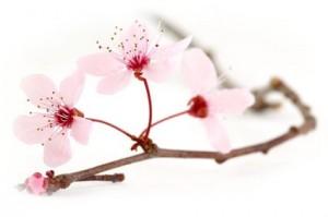 branche de prunus